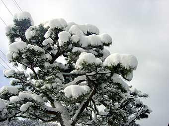 雪をかぶった松