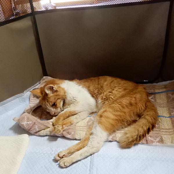 トロ、20歳の猫が寝ている