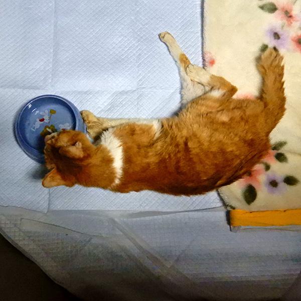 20歳の猫トロ、横たわったまま水を飲む。