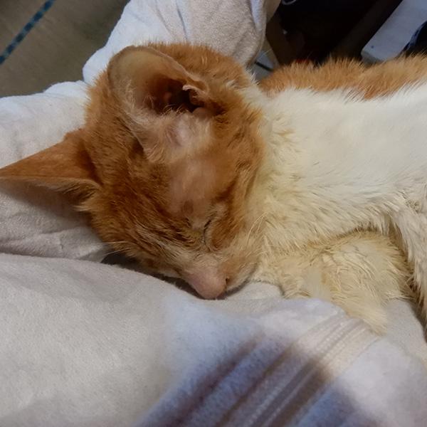20歳の猫トロ、抱かれてうとうと