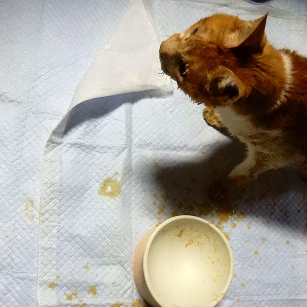 20歳の猫トロ、お皿からっぽ、完食!