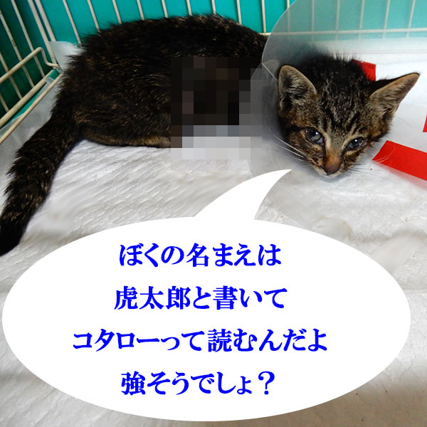 ぼくの名まえは虎太郎と書いてコタローって読むんだよ 強そうでしょ?