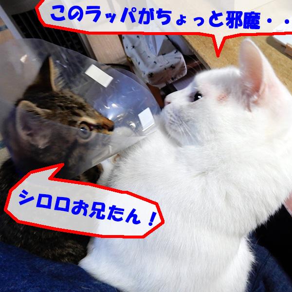 シロロとエリザベスカラーをつけた虎太郎