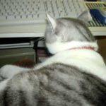 パソコンに向かう猫