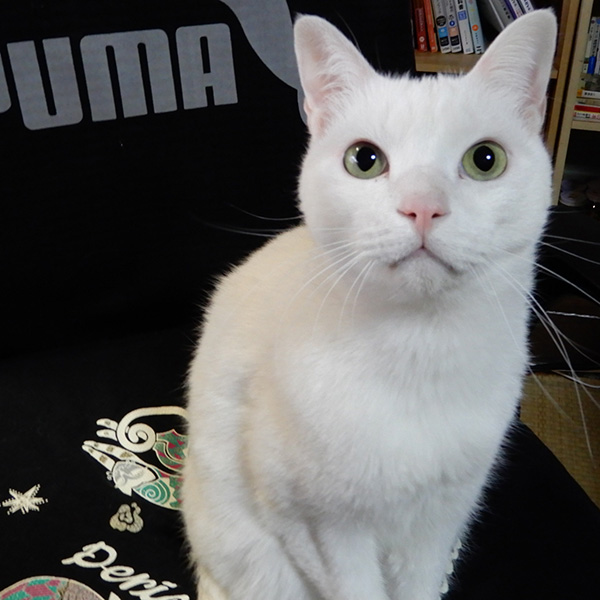 イケメン白猫のシロロ