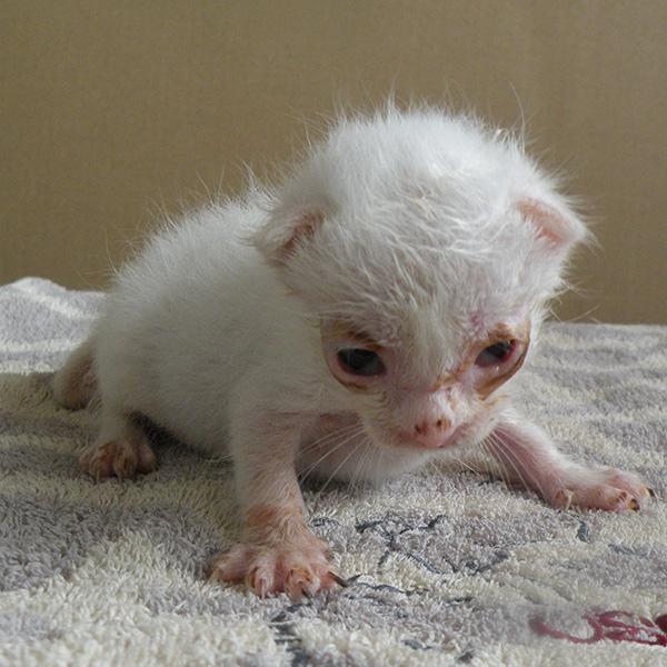 赤ちゃん時代の白猫シロロ