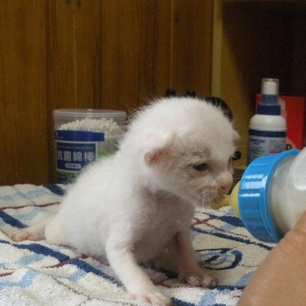 ミルクを飲む赤ちゃん時代の白猫シロロ