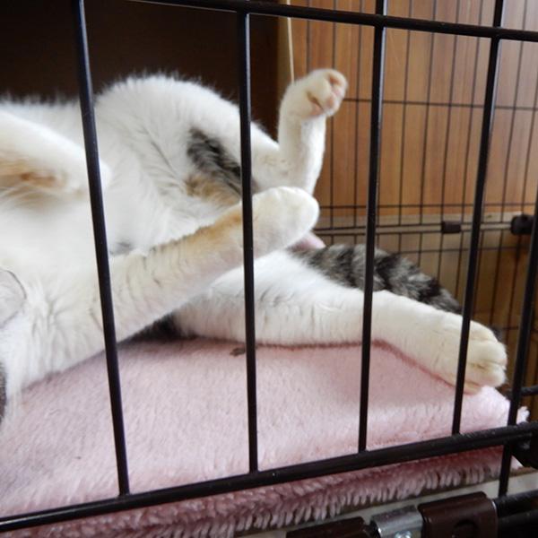 大怪我をした猫、まろ君