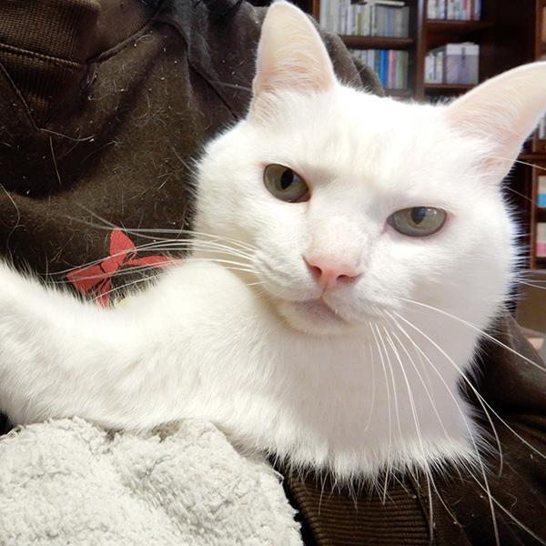 抱っこされる白猫シロロ