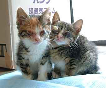 猫風邪がひどい保護子猫