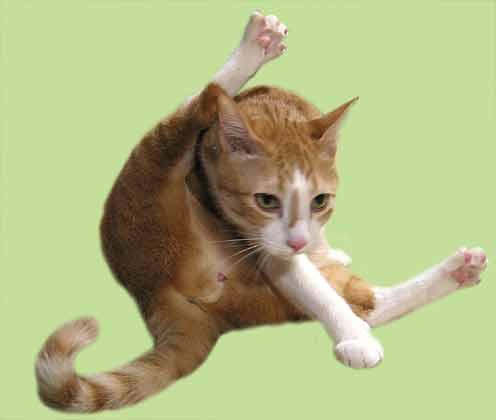 お尻を舐める猫