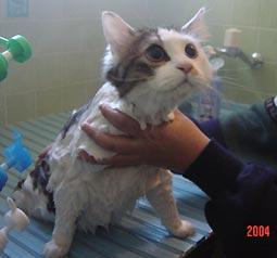 猫シャンプー中