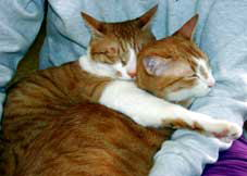 膝に乗る猫たち