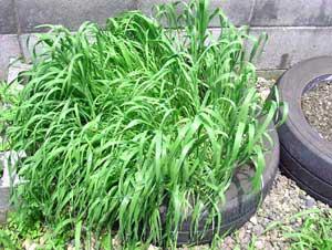 育ち過ぎた猫草