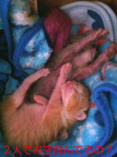 赤ちゃん猫。SHINO様保護のマロンちゃんチョコちゃん