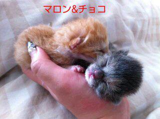 赤ちゃん猫:マロンちゃんとチョコちゃん