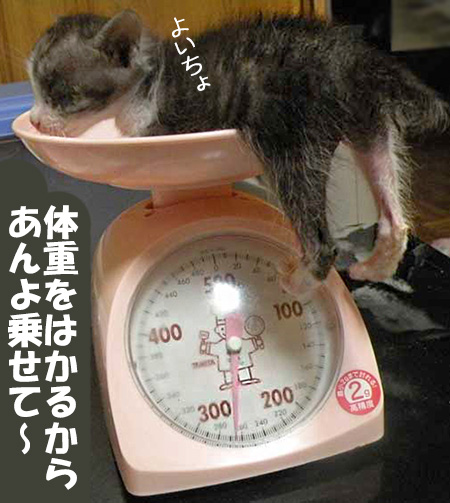 キッチンスケールに乗る赤ちゃん猫