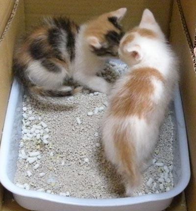 子猫、トイレ中