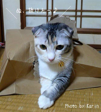 猫画像:ゆずちゃんと袋
