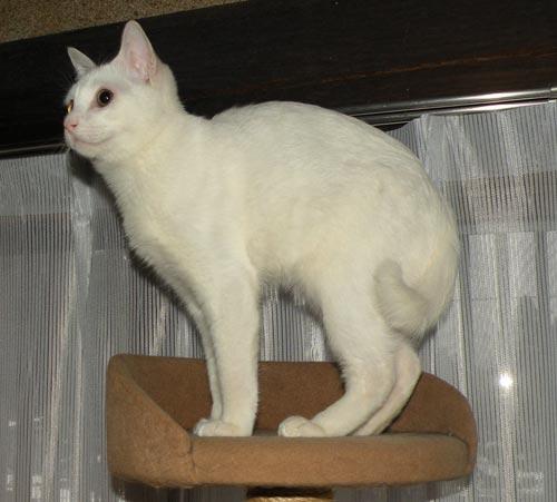 愛猫シロロ