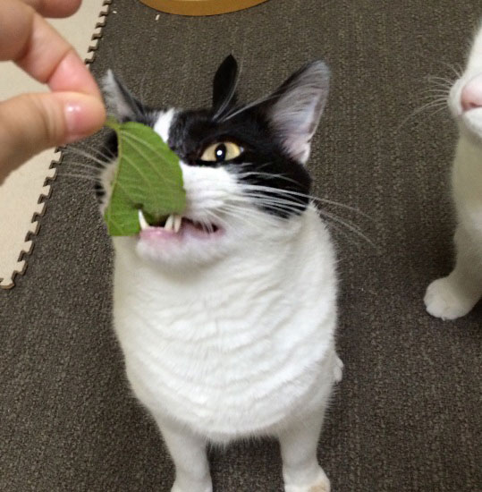 またたびの葉をかじる猫