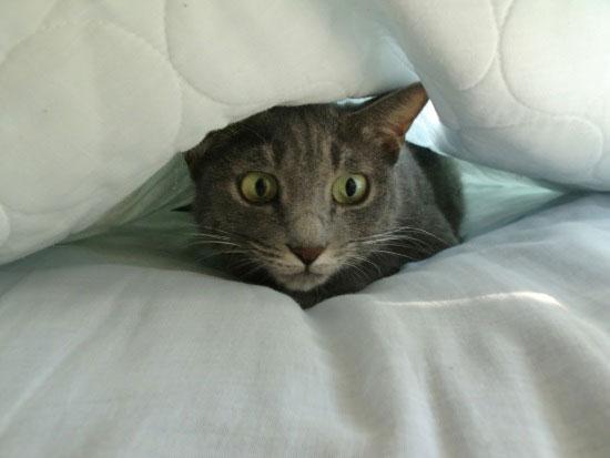 布団の間からのぞく猫