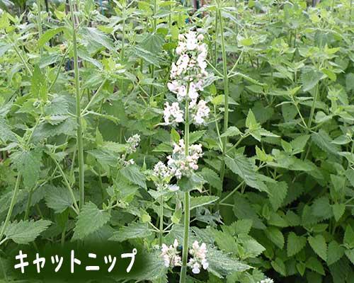 キャットニップの花