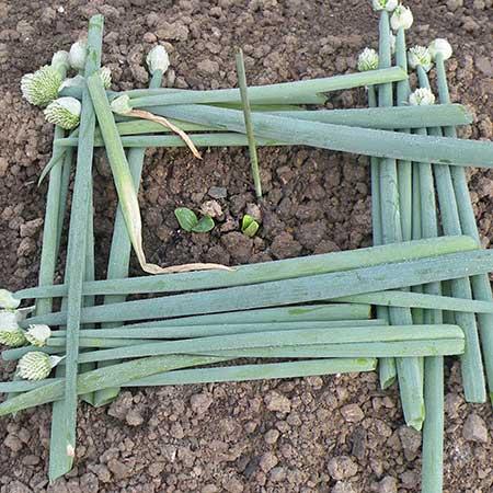 ズッキーニの芽