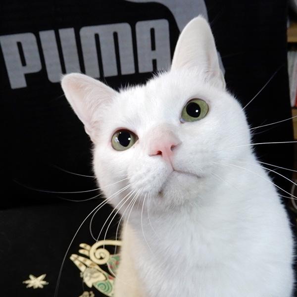 白猫シロロ