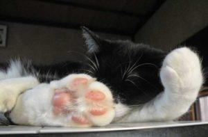 眠る猫の肉球