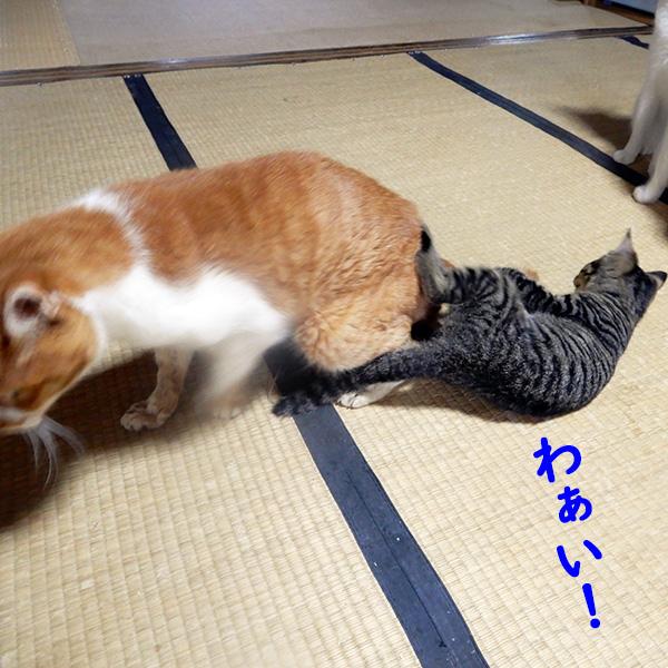 大人猫の尻尾にじゃれつく子猫