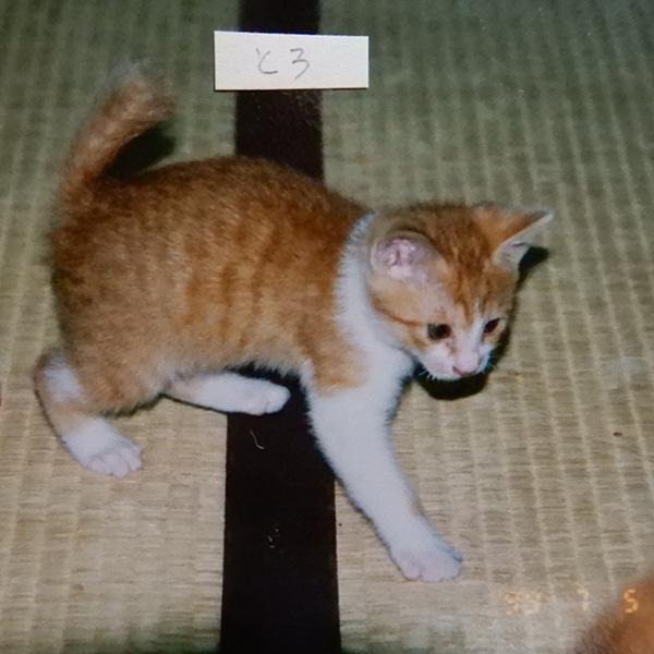 茶トラ白の子猫、トロ