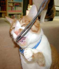 紐にじゃれる猫