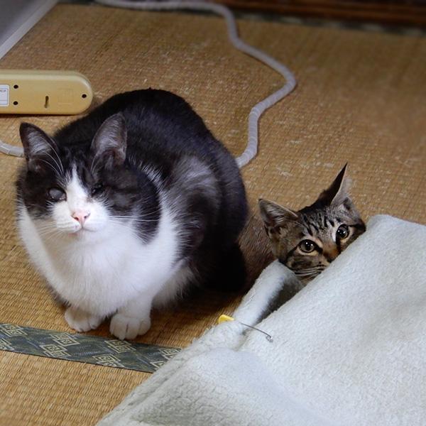 毛布の間に潜り込む子猫