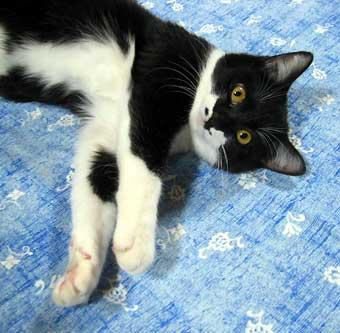 モデル猫のハナ