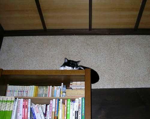 本棚の上に猫