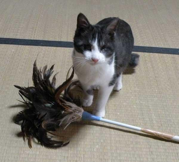 羽ハタキと猫