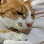 茶トラ白の猫
