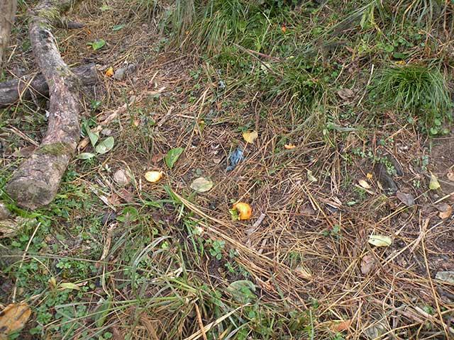 地面に転がった渋柿