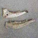シカの下顎骨
