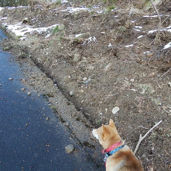 イノシシが掘った跡