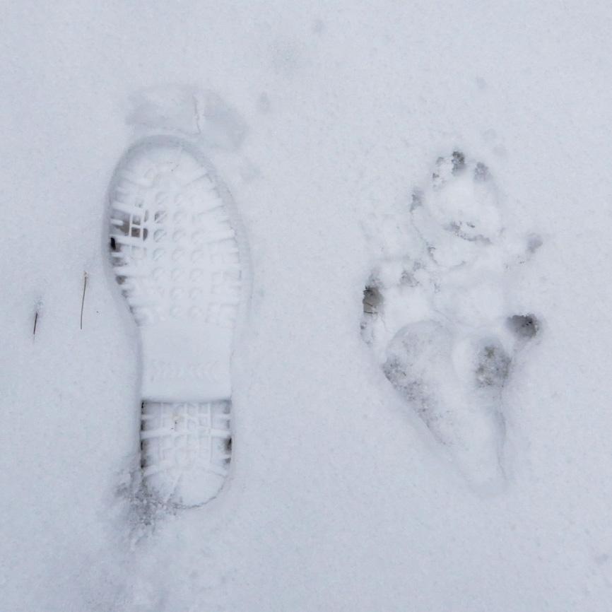 ニホンザルの足跡と23.5cmゴム長の足跡比較