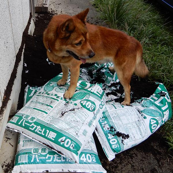 肥料袋を食い破って遊ぶ犬