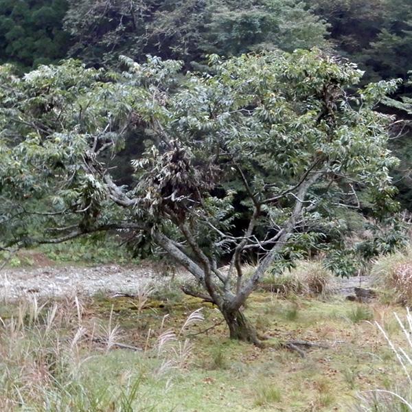 熊棚ができている栗の木