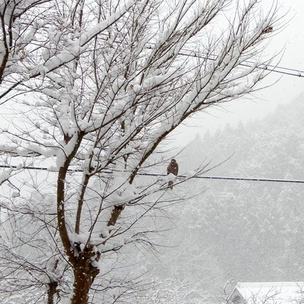 雪の中のトンビ